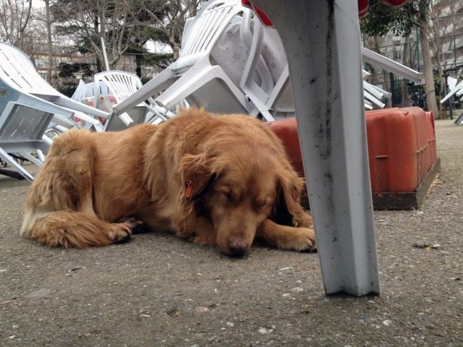 street-dogs-istanbul-12-650x488