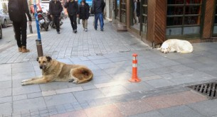 street-dogs-istanbul-9-650x353